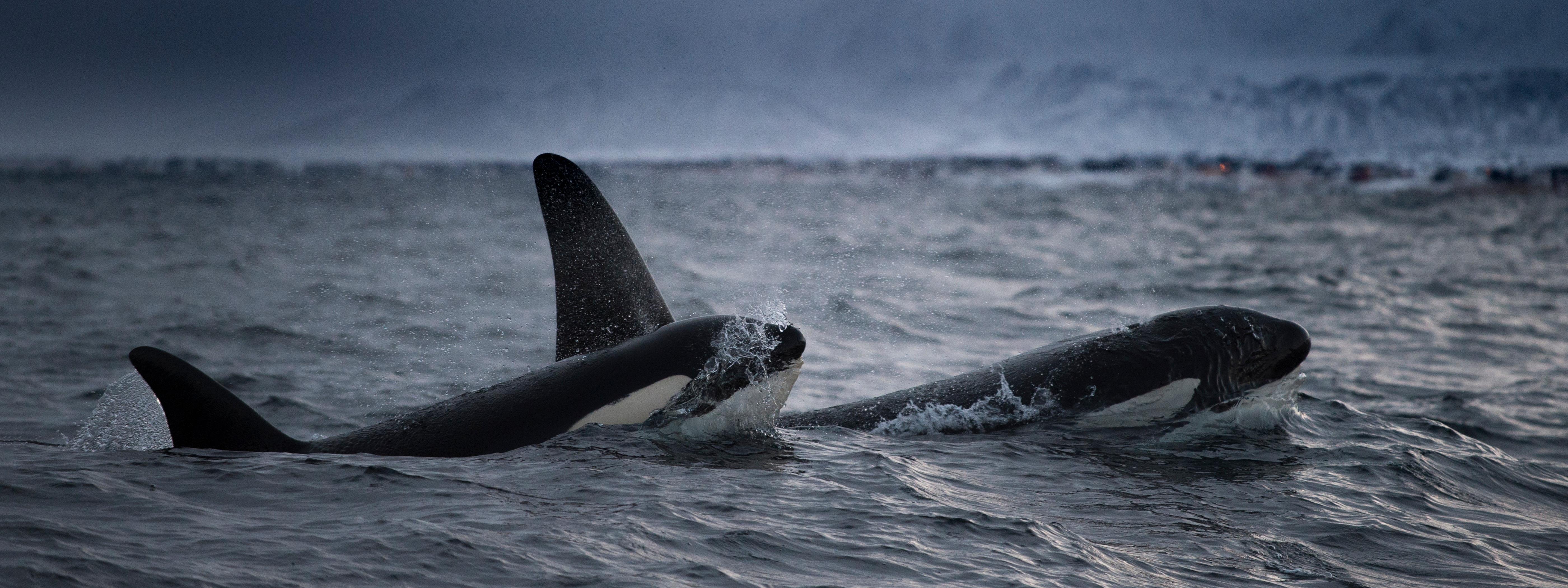 Ismét vemhes az elpusztult borját 17 napig gyászoló orka