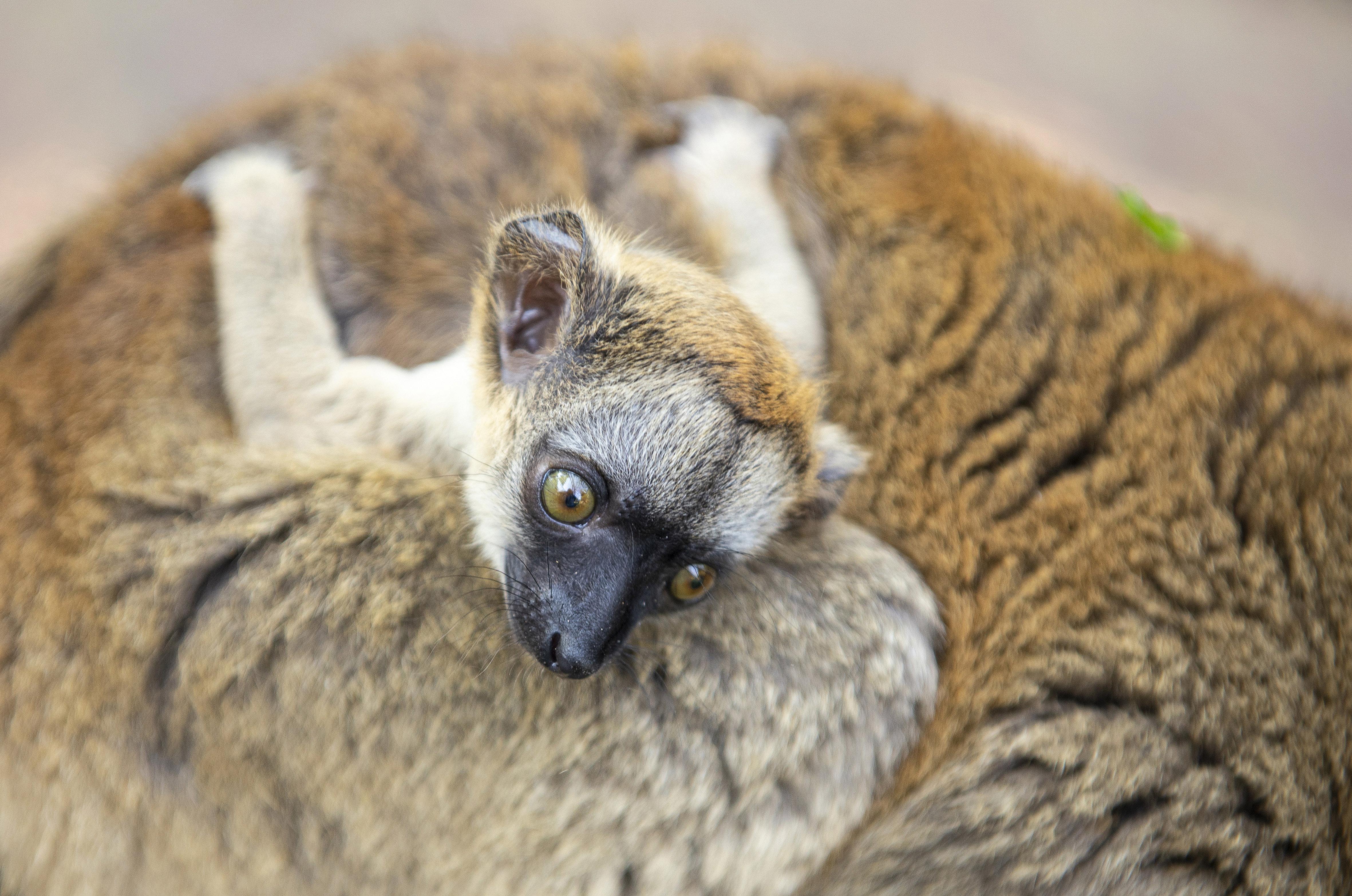 d5c8b69cd47c Sárgaszakállas maki született a Nyíregyházi Állatparkban