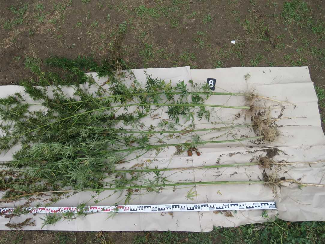Negyvenkilónyi szárított kannabiszt találtak Dobozon