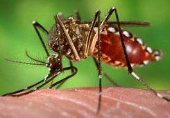 a Plasmodium malária esetében a szúnyog