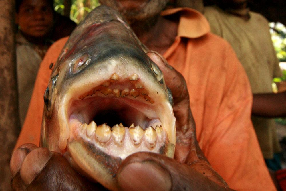 Férfiak heréjét harapdálja az emberfogú halszörny – európai vizekben is felbukkant már