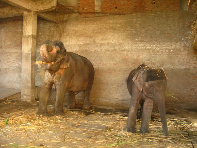 paraziták elefánt betegség
