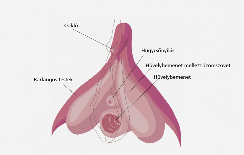erekció a nyalás után az erekció 30 évig tartó hiányának oka
