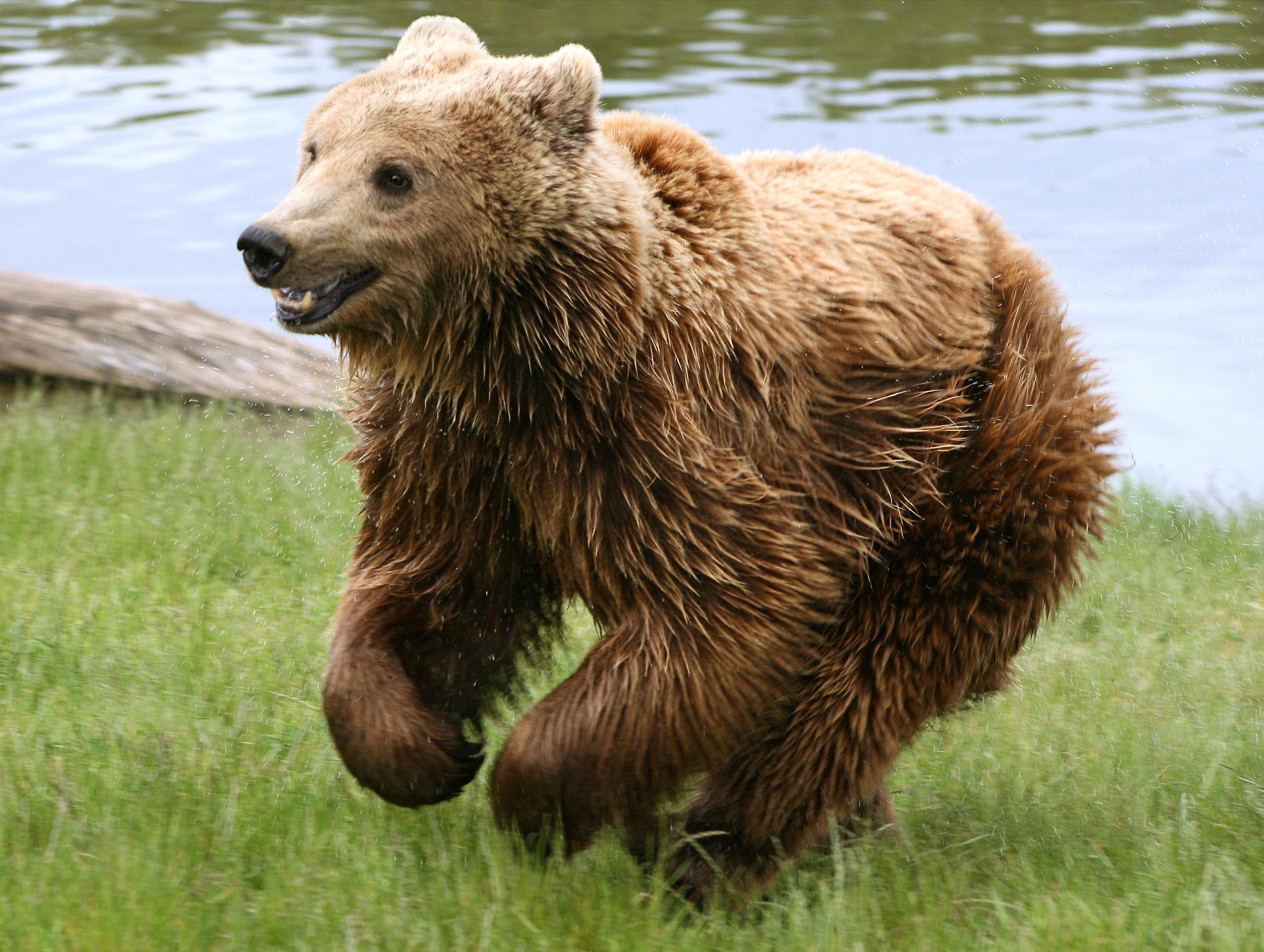 Társkereső medve