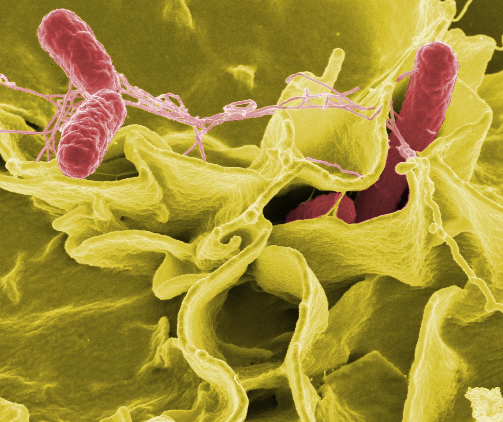 Fehérvérsejtek támadó paraziták, A bazofil sejtek szerepe