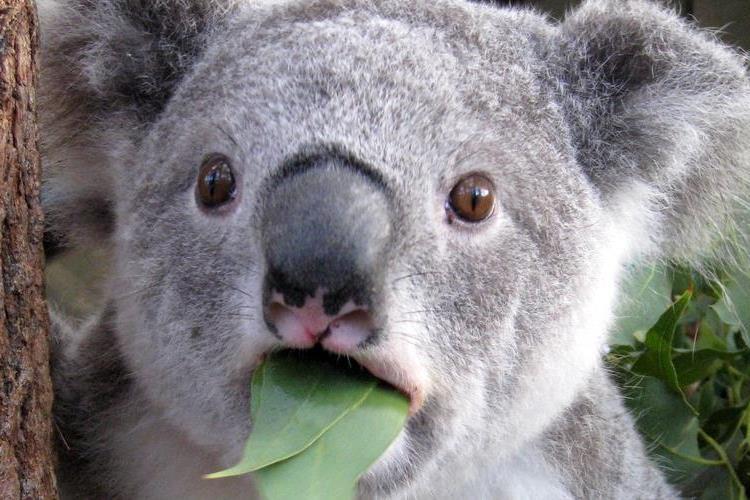 Zuhanórepülésben a koalák száma