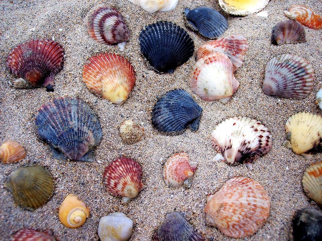 Ragaszkodó kagyló