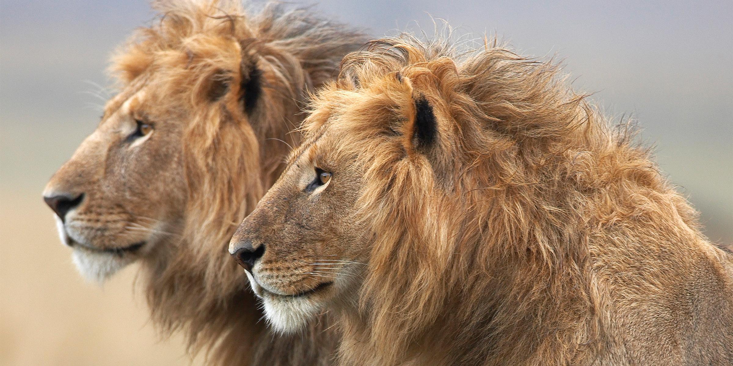 Meleg oroszlánok szexelnek
