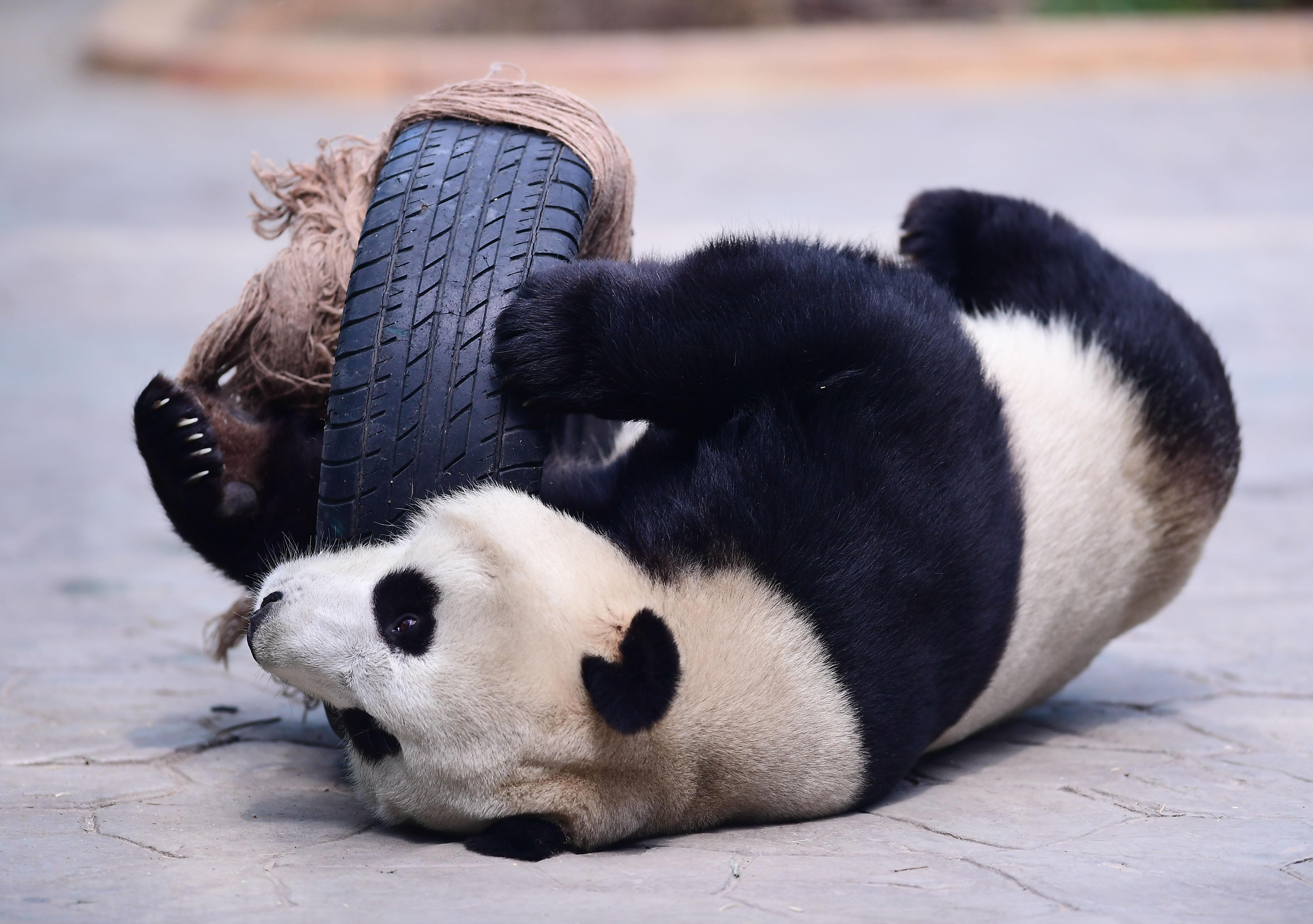 Új központtal javítanák a pandák szaporodási körülményeit