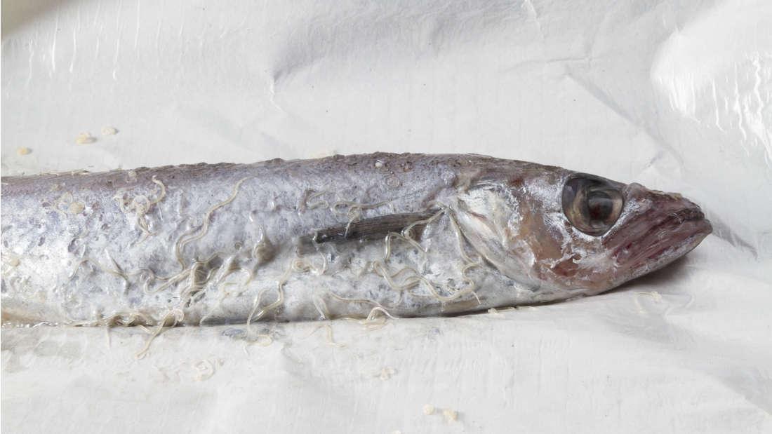 férgek halak kezeléséből származó férgekben)