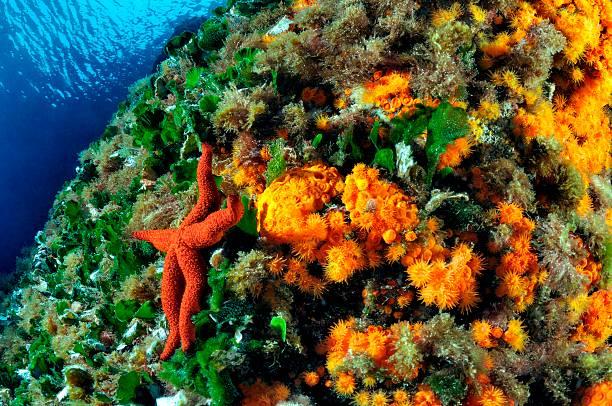közös korallok)