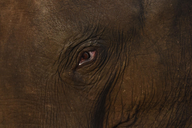 Az orvvadászat vezetett az agyar nélküli elefántok kifejlődéséhez