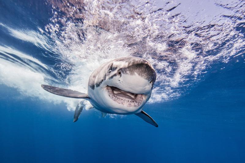 Döbbenetes felfedezést tettek a nagy fehér cápák eddig ismeretlen szokásáról