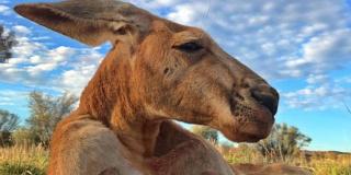 Forrás: Facebook/The Kangaroo Sanctuary Alice Springs