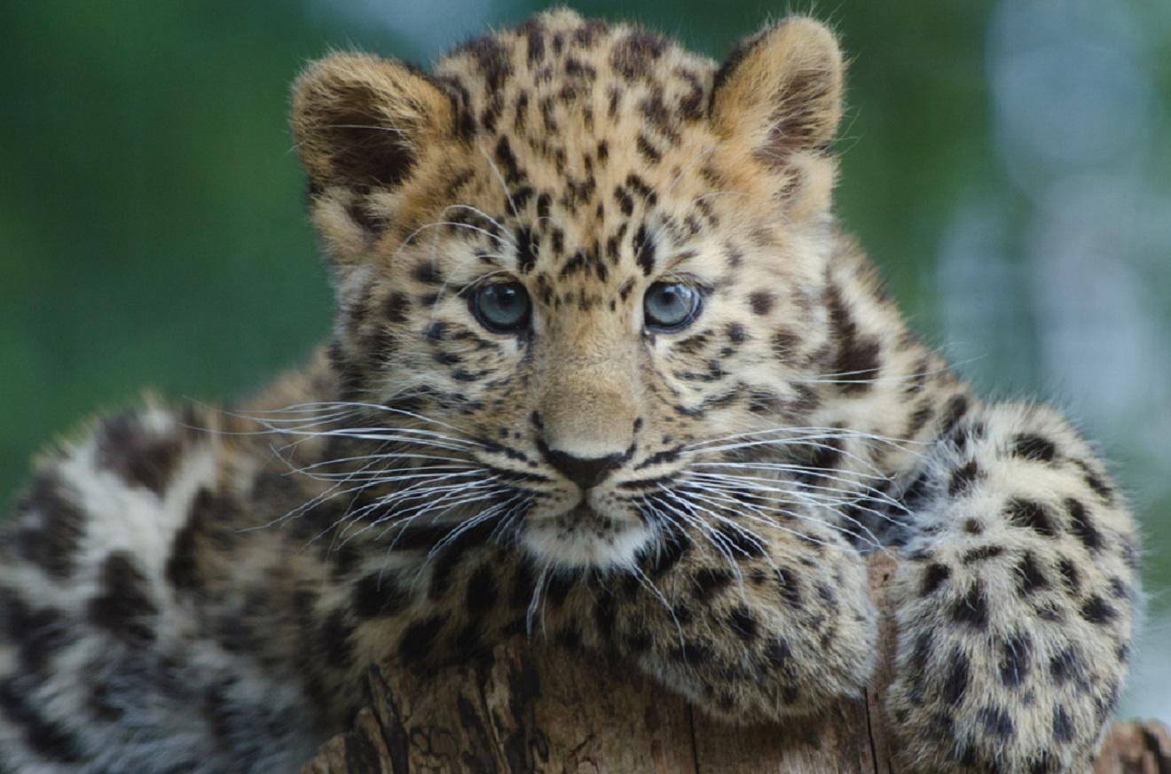 Kézipoggyászba rejtett leopárddal akart repülőre szállni egy utas