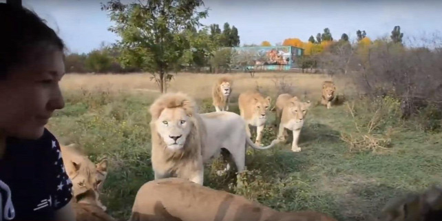 Forrás: YouTube/ Lions TAIGAN Park. Official INTERNATIONAL Channel