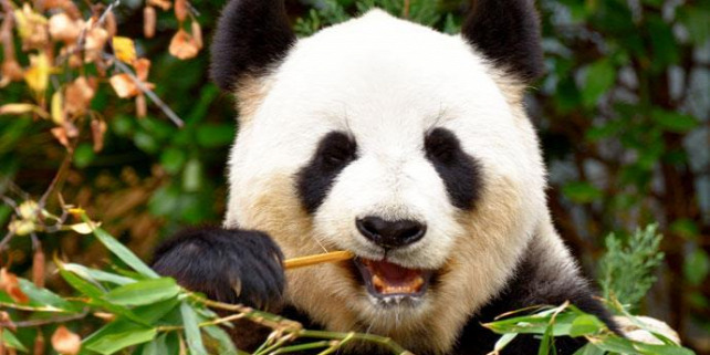 Forrás: https://www.sciencenews.org/article/giant-pandas-may-have-only-recently-switched-eating-mostly-bamboo