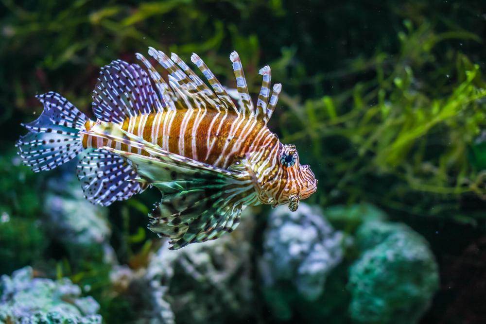 A férgek a halakban, Diphyllobothriasis sanpin