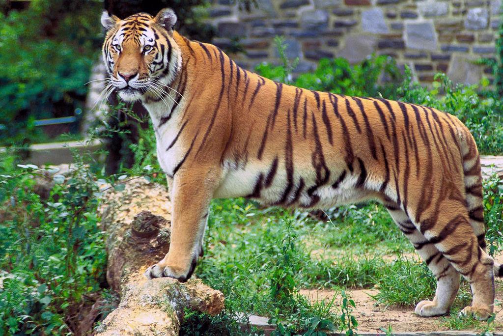 Tigris tigris newcastle
