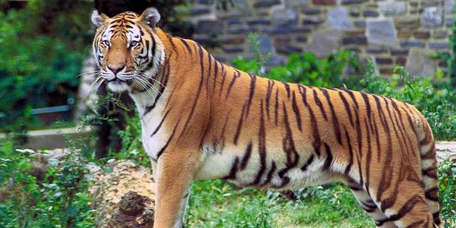 Forrás: https://hu.wikipedia.org/wiki/Beng%C3%A1li_tigris#/media/F%C3%A1jl:Panthera_tigris_tigris.jpg
