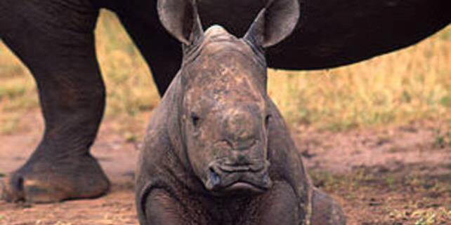 Forrás: http://wwf.panda.org/knowledge_hub/endangered_species/rhinoceros/african_rhinos/white_rhinoceros/