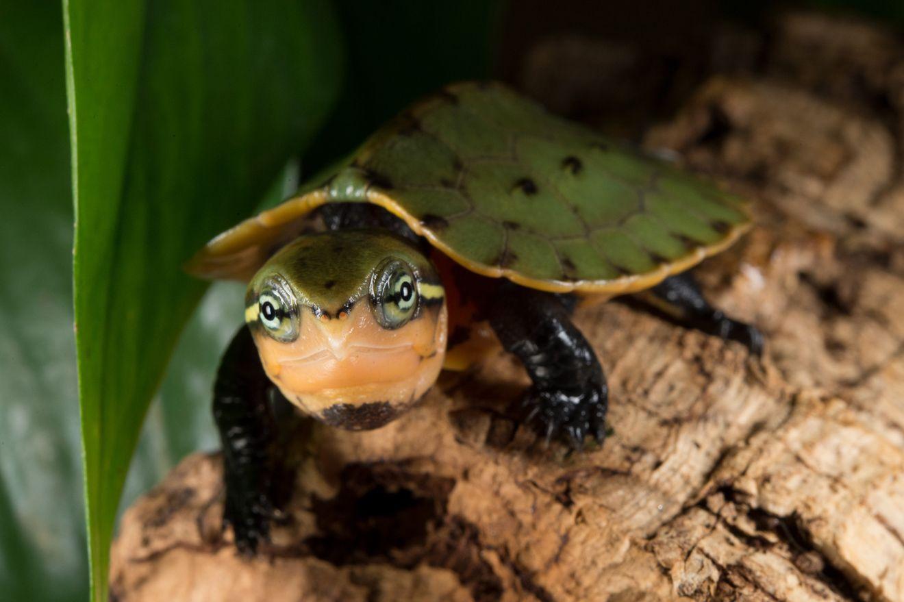 Ezért izgalmas a teknősök nemi kromoszómáinak működése