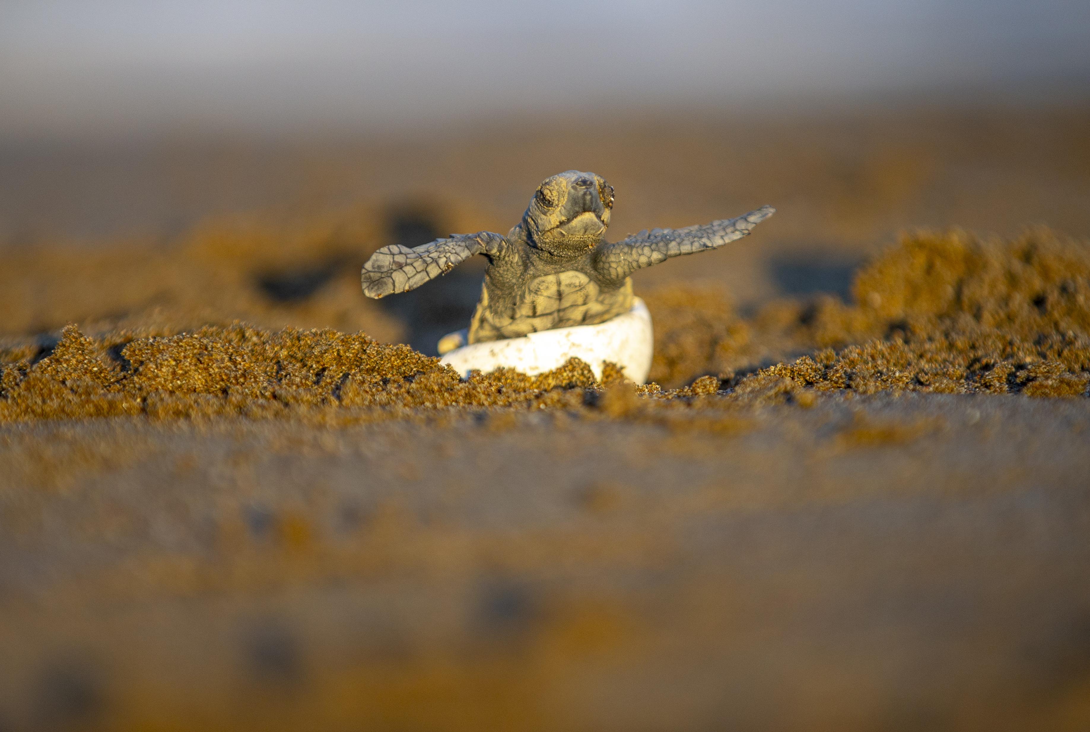 Ezért tudnak visszatalálni a tengeri teknősök a kikelési helyükre