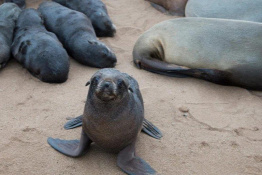 Forrás: https://www.aljazeera.com/news/2020/10/25/thousands-of-seals-found-dead-in-namibia