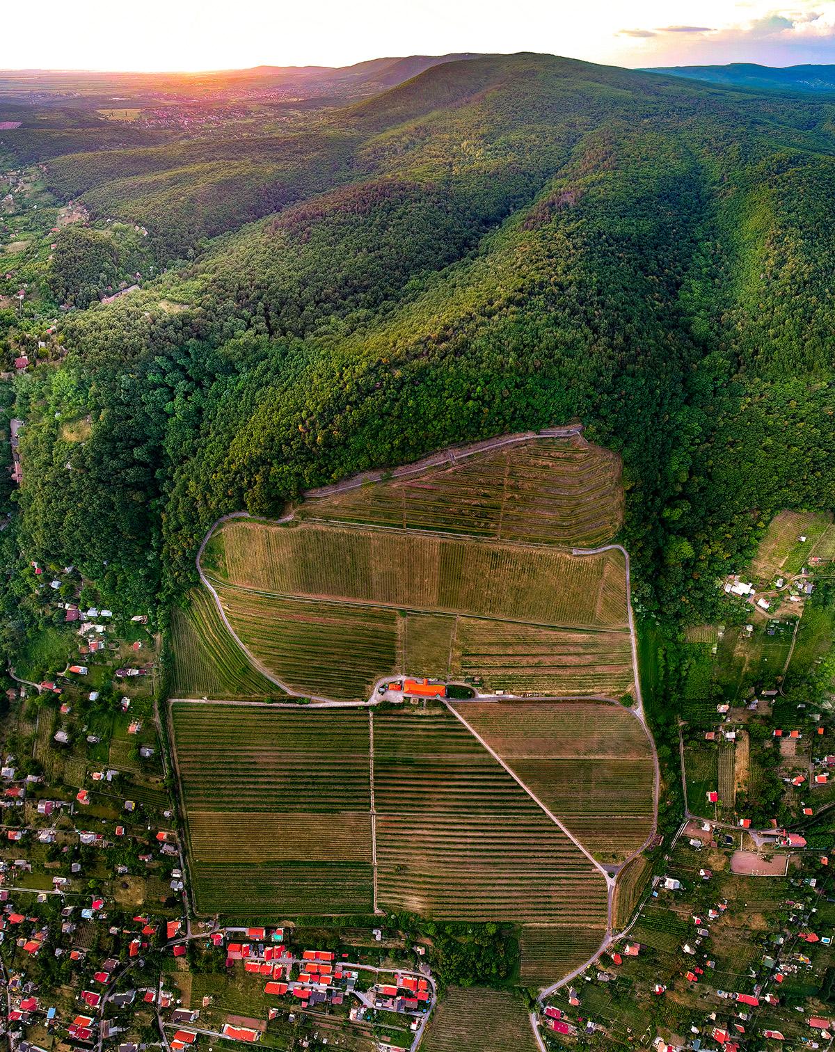 Klónszelekciós nemesítéssel hoznak létre szőlőültetvényeket Pécsett