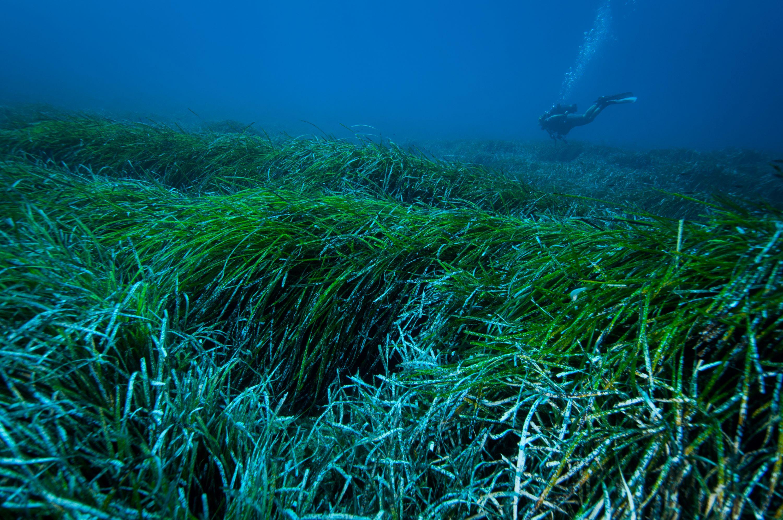 A tengeri füvek a Földközi-tenger takarítói