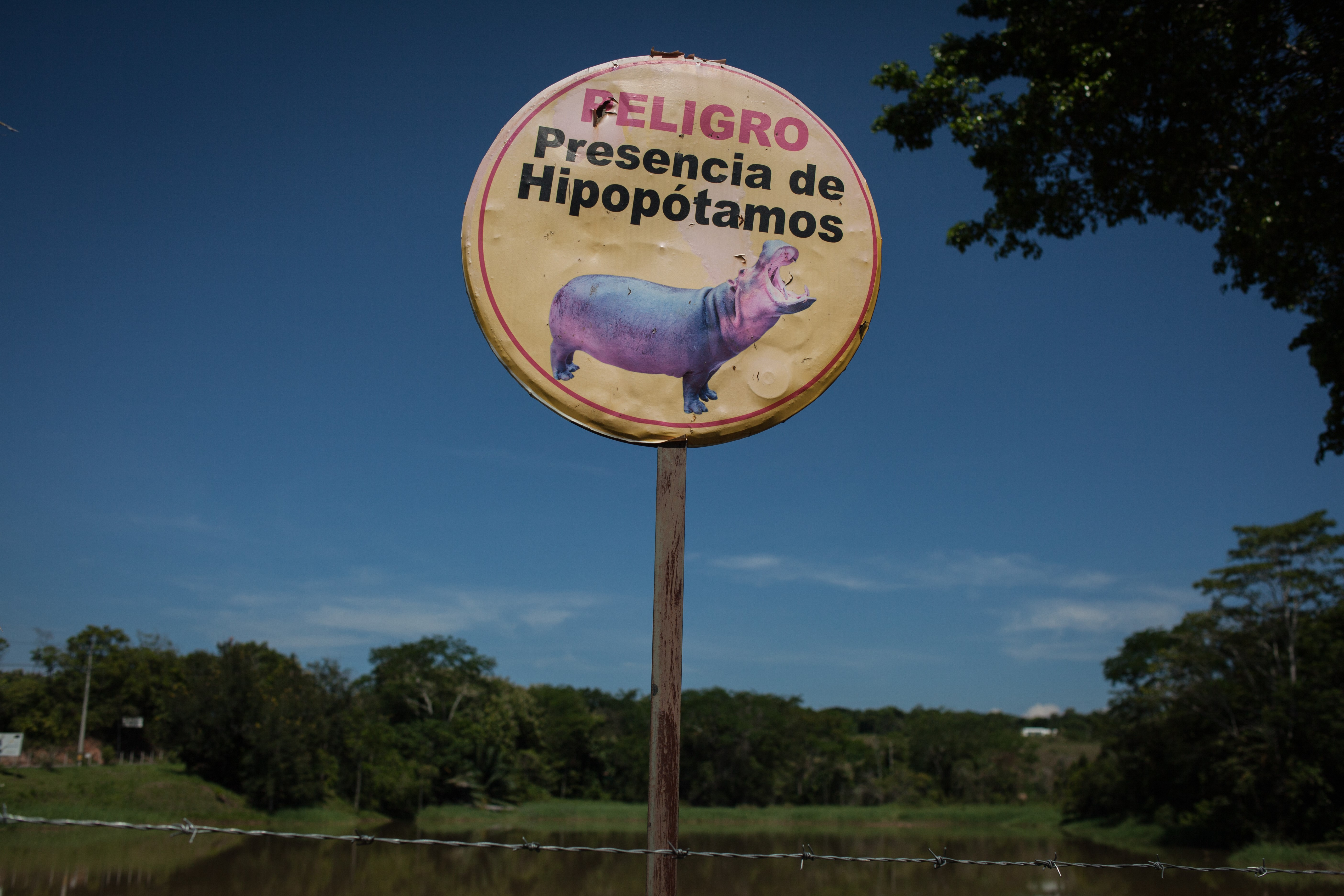 A túlszaporodott kolumbiai vízilovak leölését javasolják