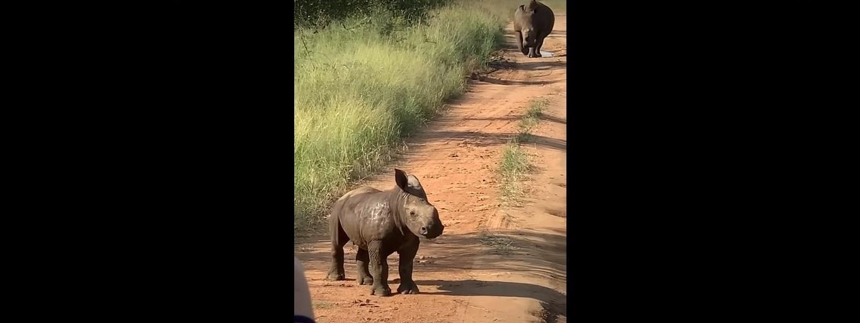 Alig bírt magával a kis orrszarvú, amikor meglátta a turistákat – videó