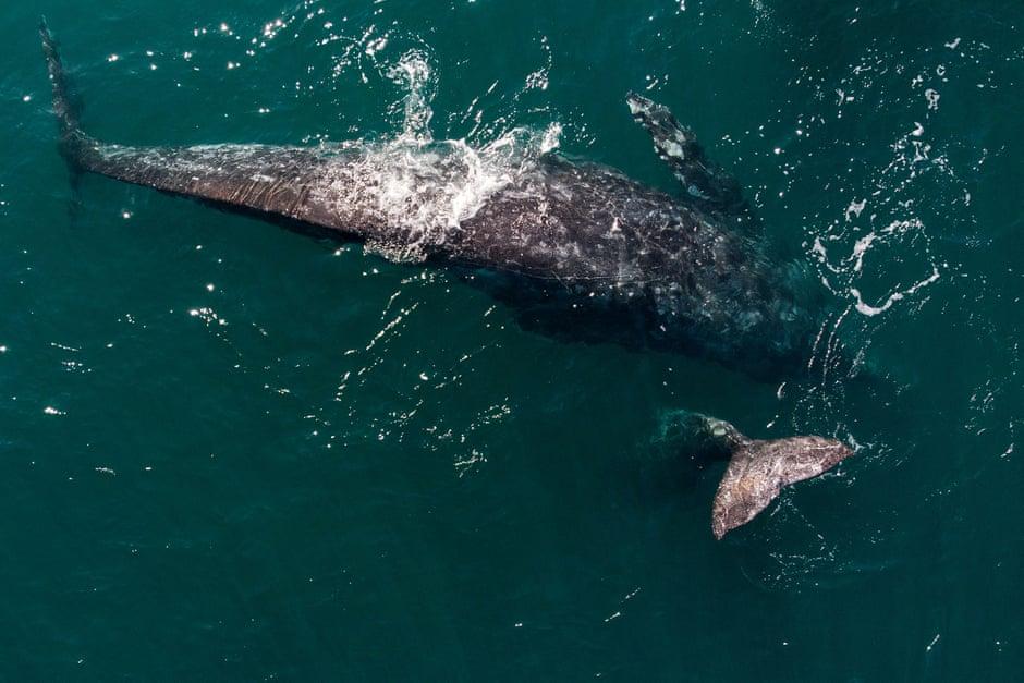 Hajók által elgázolt bálnák tetemét sodorta partra a víz a San Franciscó-i öbölben