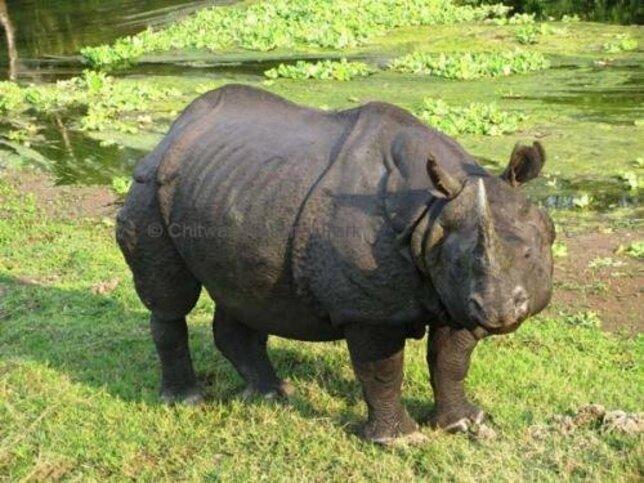 Hat év alatt 107-tel nőtt az indiai orrszarvúak száma Nepálban
