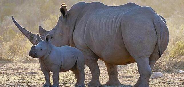 Kitűnő hírt közöltek a kenyai orrszarvúpopuláció növekedéséről