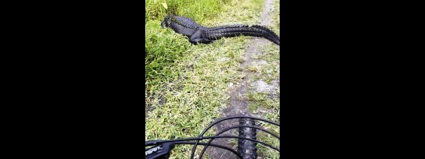 Egy aligátor állta el az útját a kerékpározó turistának Floridában – videó