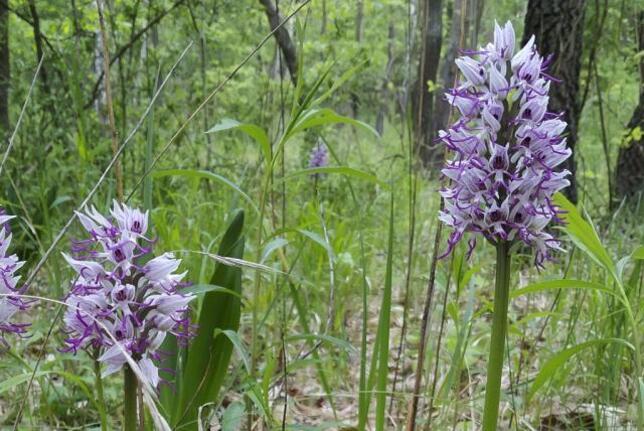 Növényritkaság a Szekszárdi dombságban