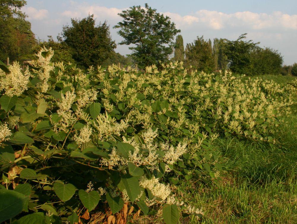 Ezért hódíthatják meg az idegen növények Európát