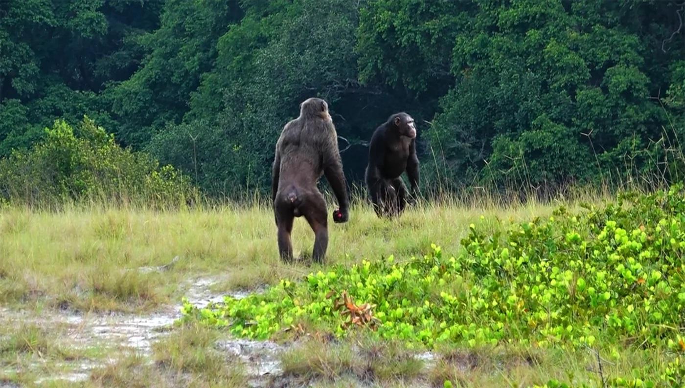 Brutális kivégzést rögzítettek a vadonban: csimpánzok öltek gorillákat
