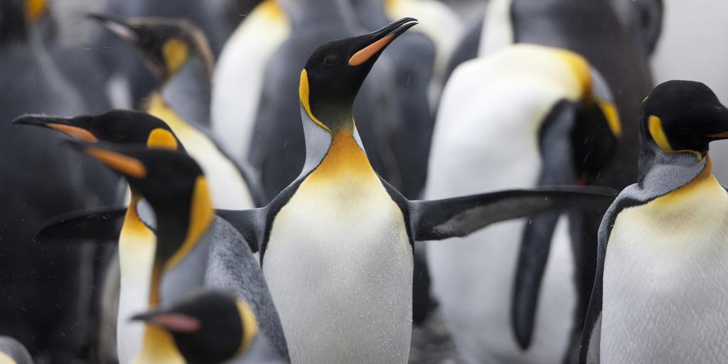 Azért halhatnak ki a királypingvinek, mert túl nagy utat kell megtenniük az élelemig