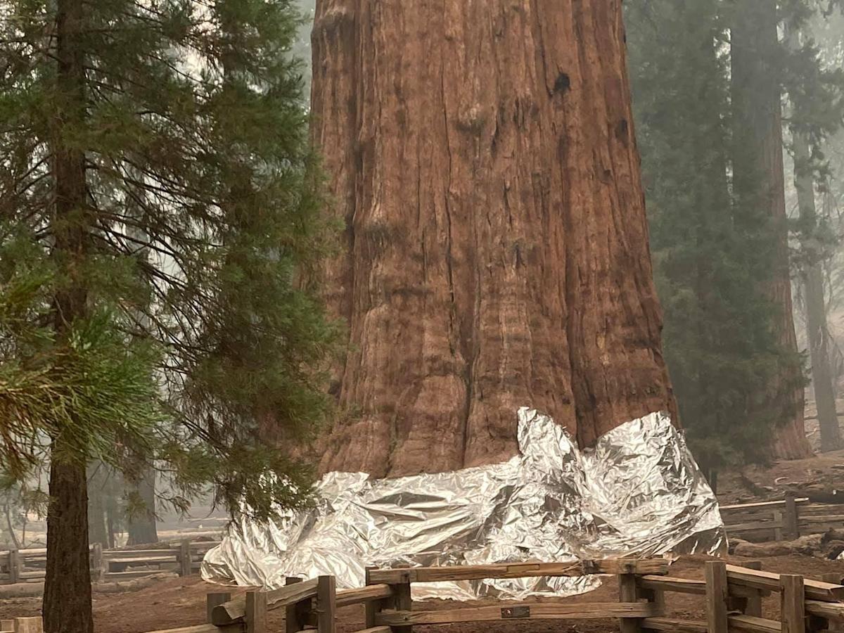 Tűzálló takaróval védik a világ legnagyobb fáját az erdőtűztől