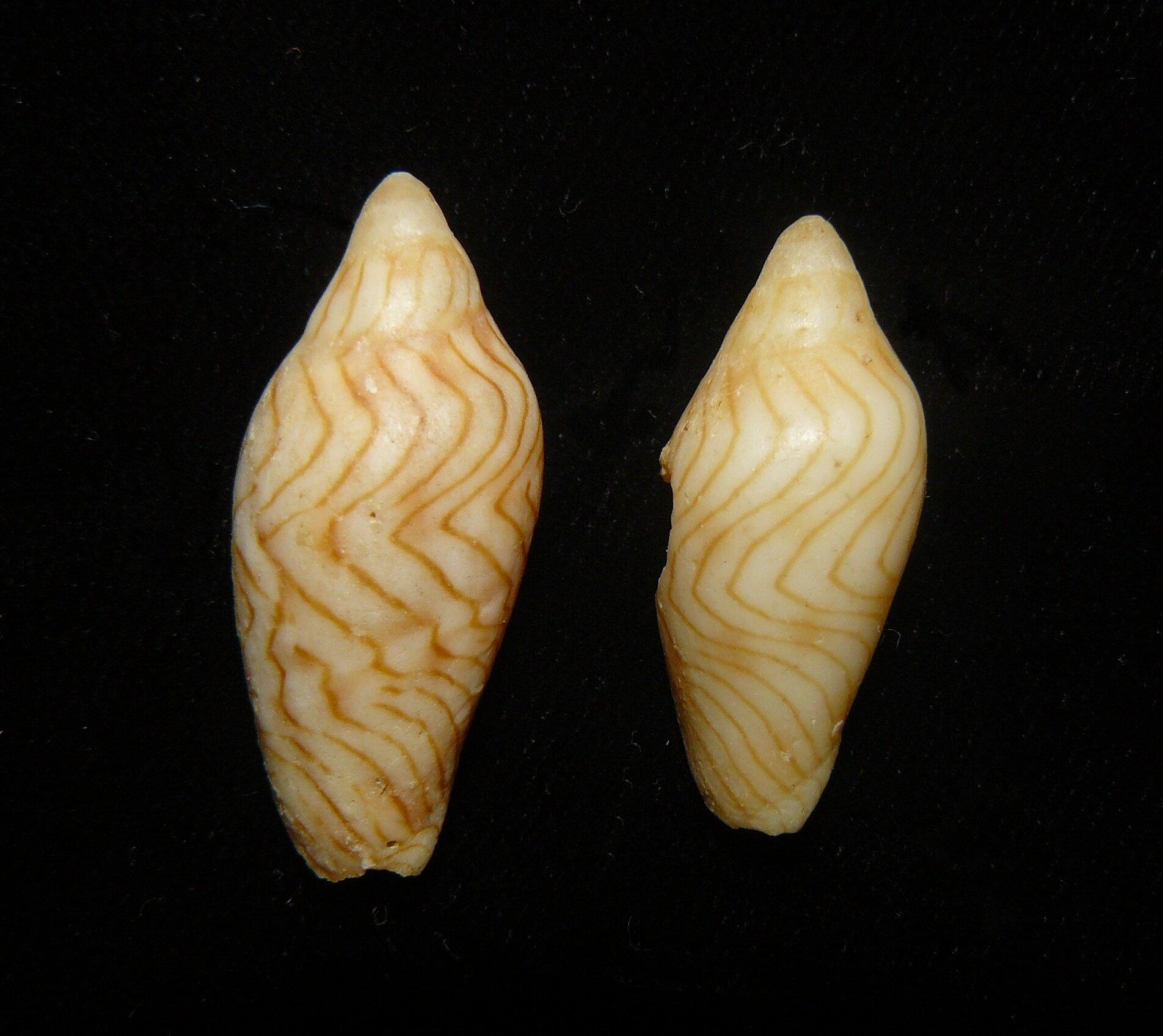 Újabb puhatestűfajt fedeztek fel egy ausztrál magángyűjteményben