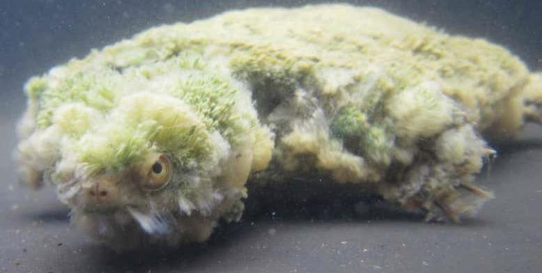 Veszélyben van a ritka ausztrál mocsári teknős