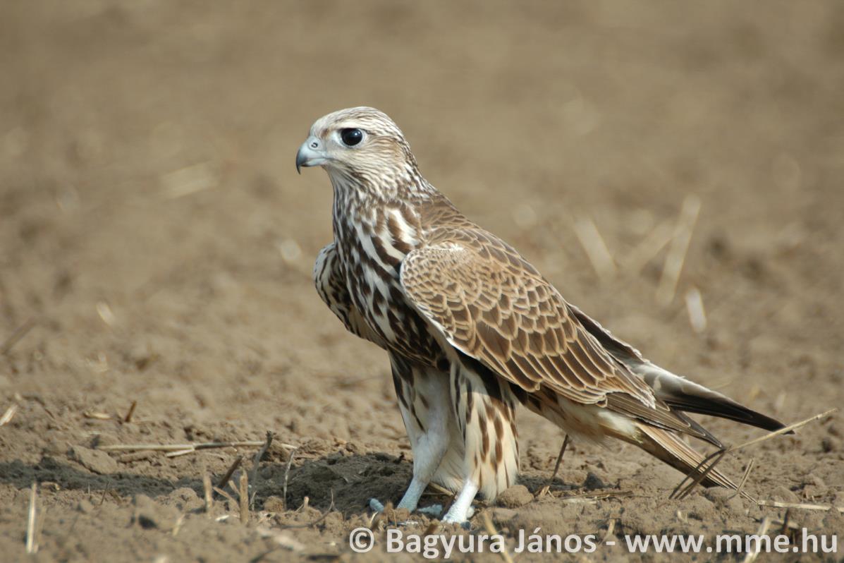 Minden 5. európai madárfaj veszélyeztetett