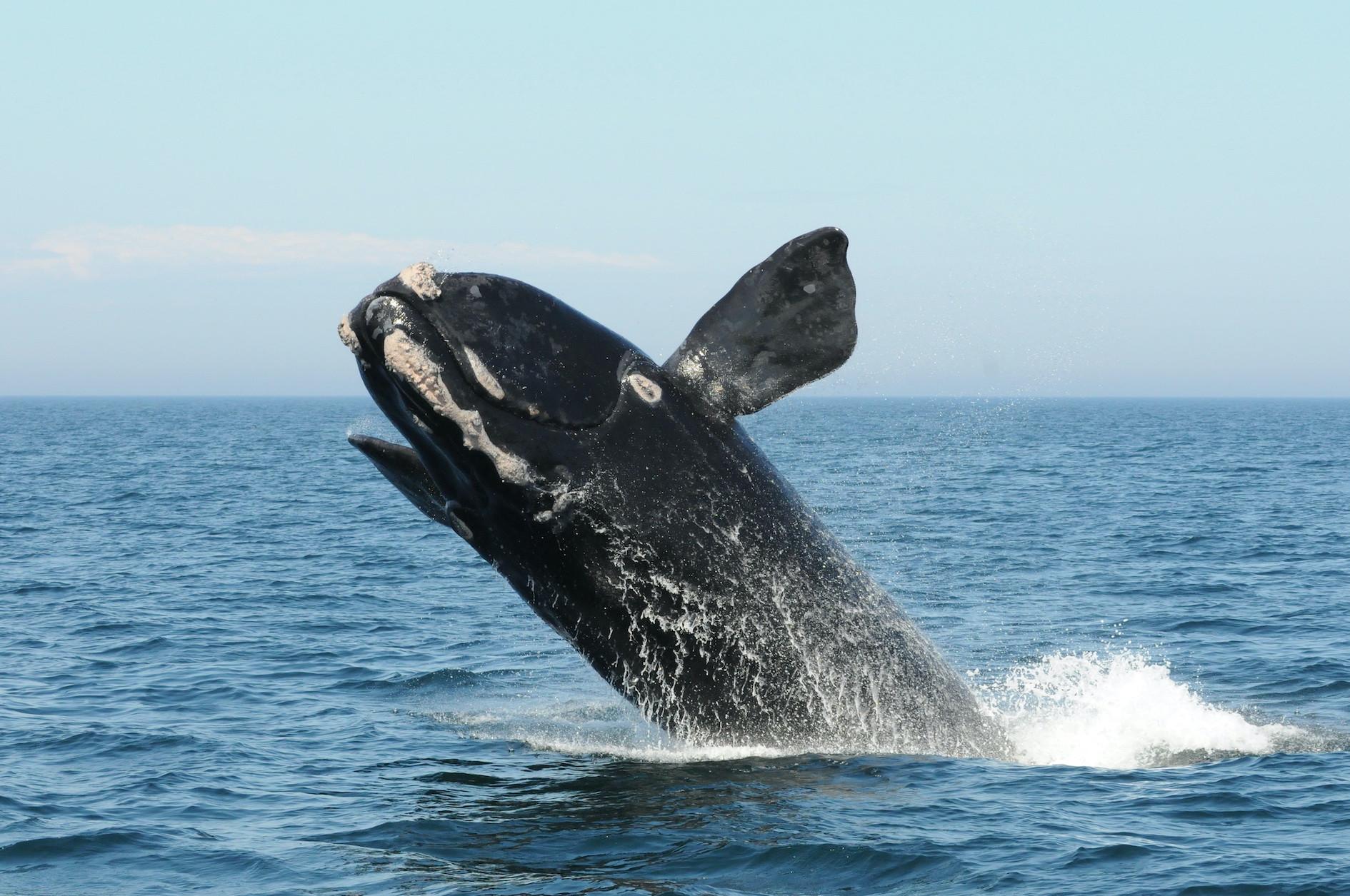 Végveszélybe került a legritkább tengeri emlős