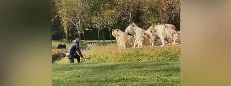 Bemászott a tigrisek kifutójára egy őrült turista - videó