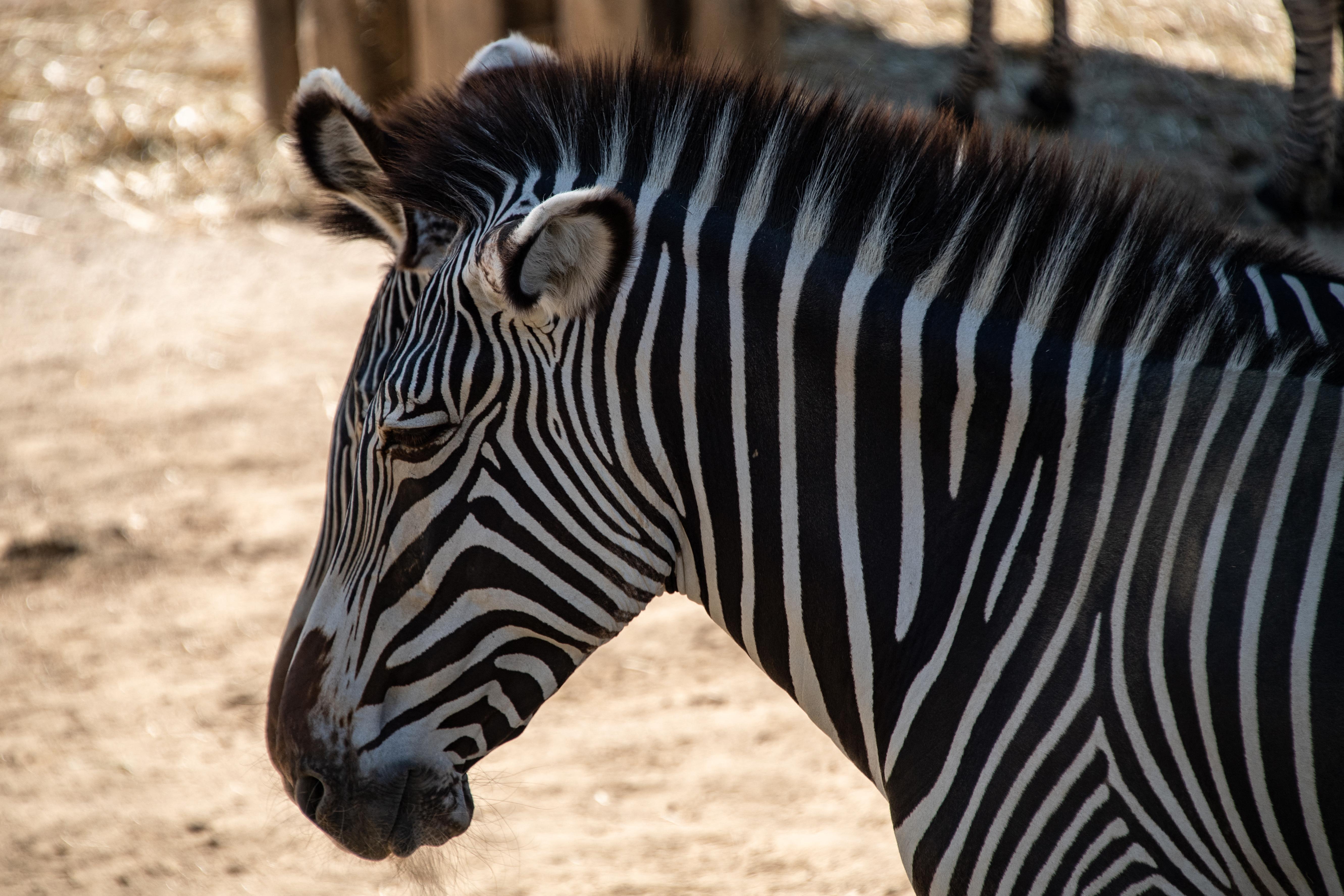 Különleges zebra született a szingapúri állatkertben